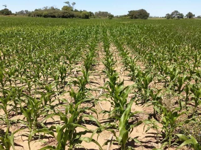 Las lluvias fortalecen las chances del  maíz