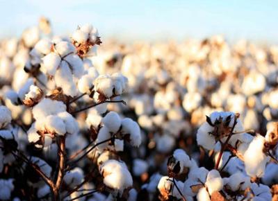 Gensus y Bioheuris mejorarán variedades de algodón con edición génica CRISPR