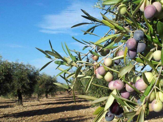 Producirán biocombustibles a partir de residuos de olivícolas