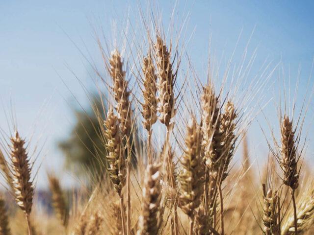 Fuerte caída de las exportaciones de trigo durante enero