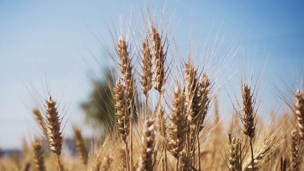 Creció el nivel de proteína del trigo cordobés en la última campaña