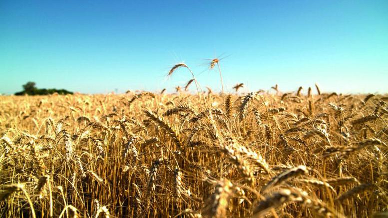 Ensayos en trigo: El INTA difundió los resultados obtenidos en la zona de San Francisco