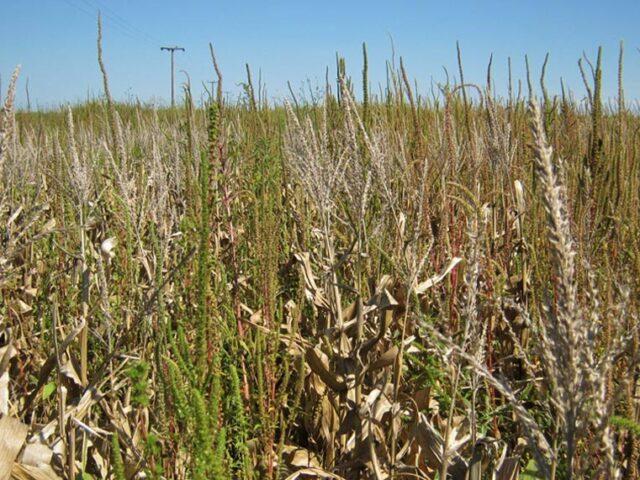 EE.UU: Confirman resistencia de Amaranthus Palmeri a glufosinato de amonio