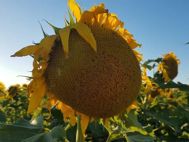 En el NEA, la sequía extrema no detuvo al girasol