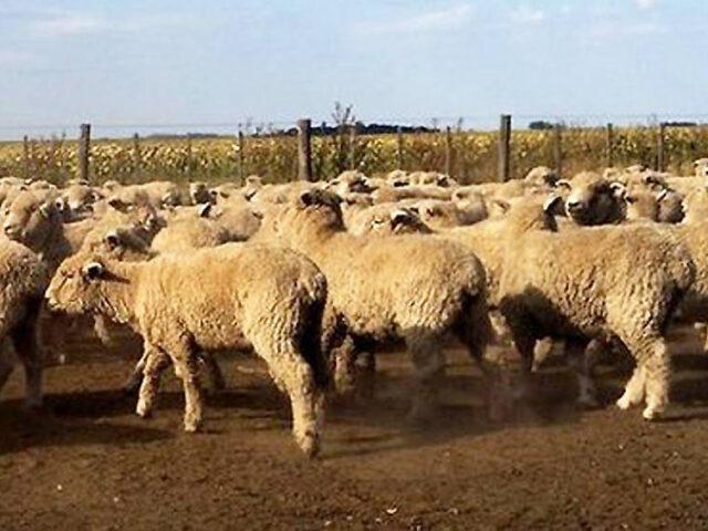 Créditos para el desarrollo de la actividad ovina santafesina