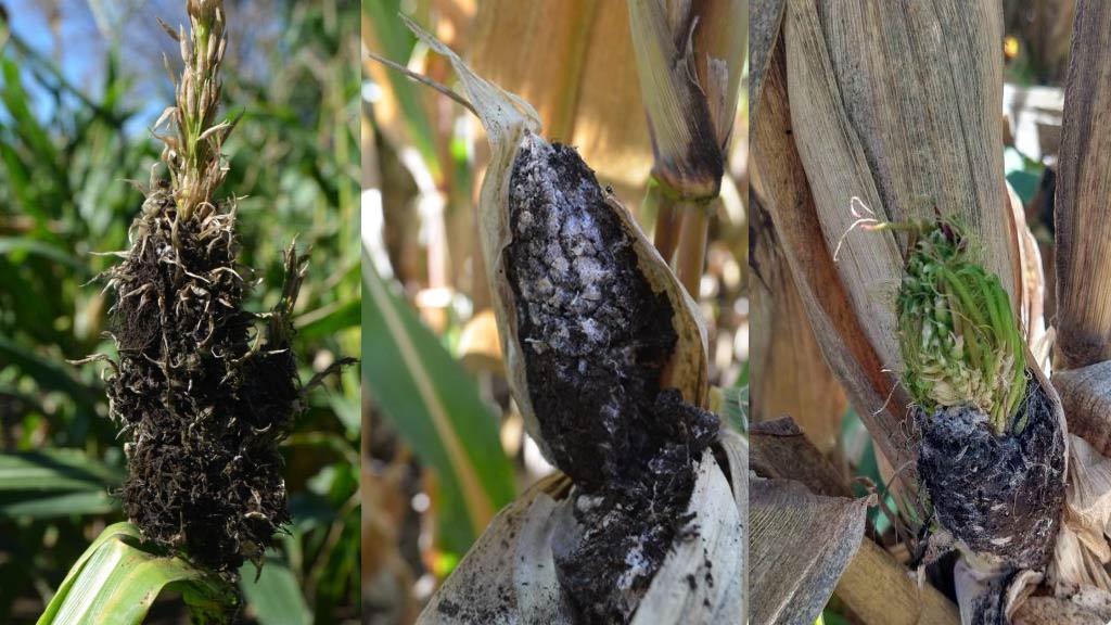Alerta por presencia de carbón de la panoja en maíz