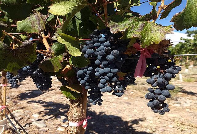 Vendimia 2021: Caería un 6% la cosecha de uvas en Argentina