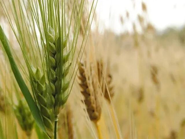 Anticiparse, la mejor medicina ante las enfermedades en cultivos de invierno