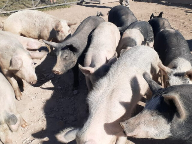 Financiamiento para las cadenas de la carne de cerdo y pollo