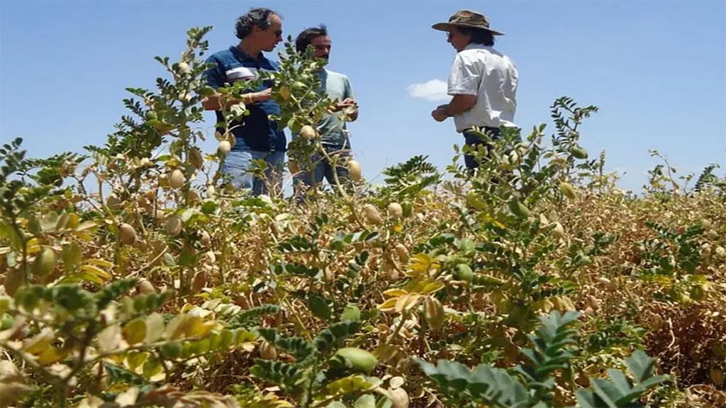 El cultivo de garbanzo no debería ser una moda pasajera