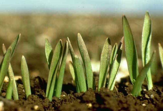 Novedad tecnológica: un tratamiento con Zinc y fosfitos para semillas de trigo