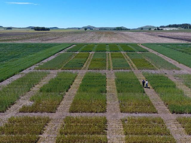 Con pellet de compost, el trigo rinde hasta un 19% más