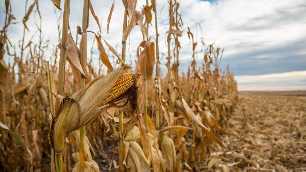 Nuevas herramientas para el monitoreo de sorgo y maíz