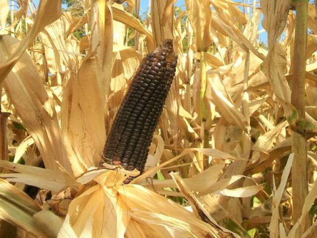 Desarrollan la primera variedad autóctona de maíz morado
