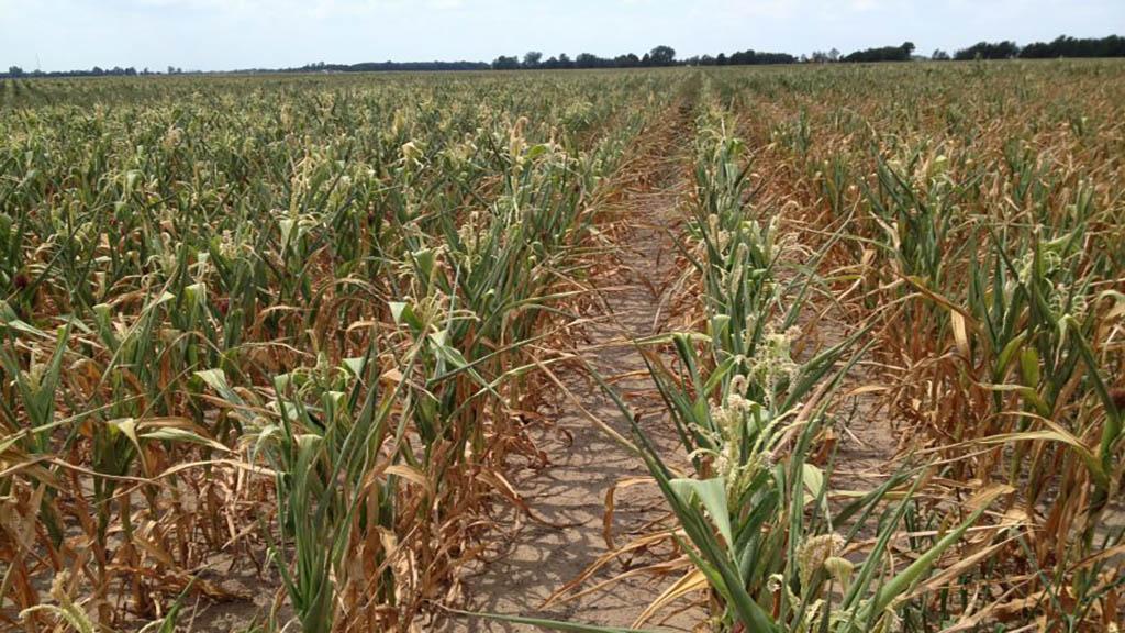 Por la sequía, las condiciones del maíz y la soja empeoran en EEUU