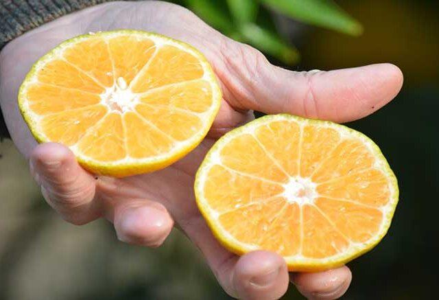 Presentan dos nuevas variedades de mandarinas saneadas