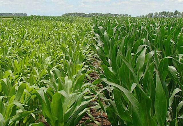 Respuesta del rendimiento de maíz a la dosis de nitrógeno y densidad de plantas
