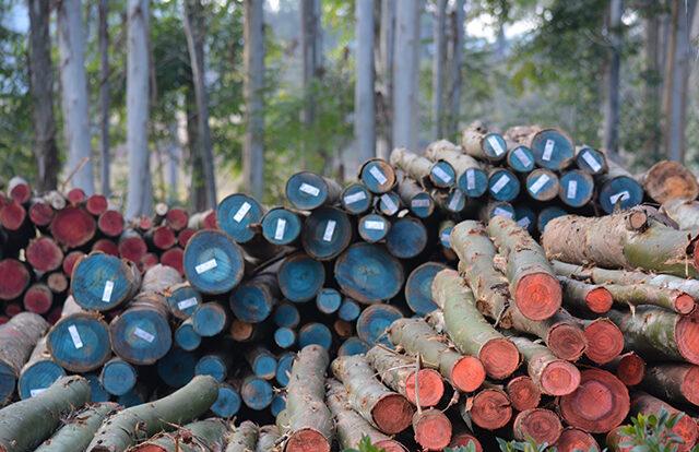 Madera de eucalipto: conociendo sus diferentes usos industriales