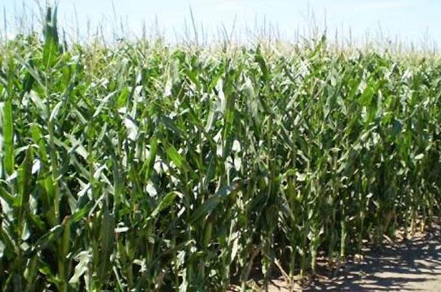 Red de evaluación de híbridos de maíz de fecha de siembra tardía del Centro-Sur de Córdoba