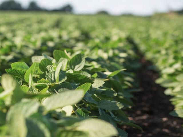 Polifenoles para cultivos extensivos, soluciones naturales para los desafíos de la agricultura actual