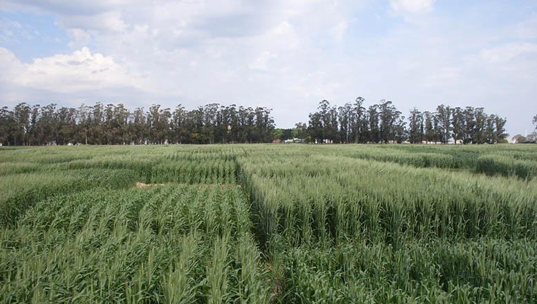 Evalúan respuestas a fungicidas en trigo tras 11 años de ensayos