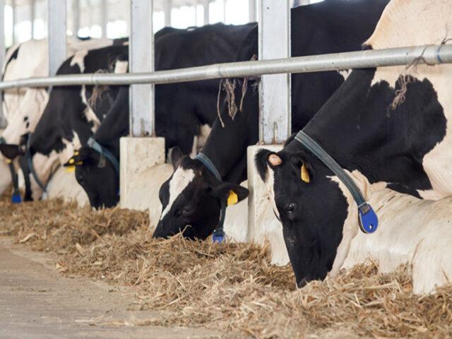 En los establos de robots, las vacas seguirán siendo vacas